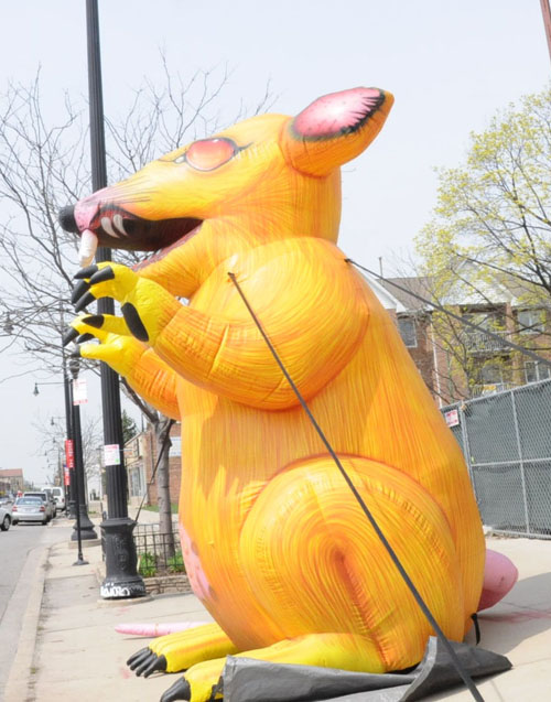 The rat on Irving Park road in front of a scab construction site on April 12, 2010. Substance photograph by Sam Schmidt.